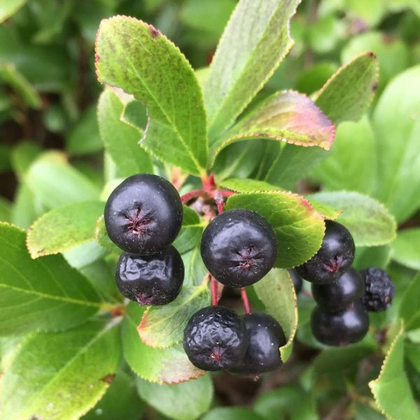 Aronia Low Scape Hedger, Chokeberry