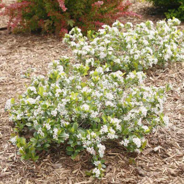 Aronia Low Scape Mound Chokeberry