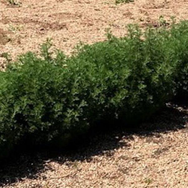 Artemisia Leprechaun Southernwood