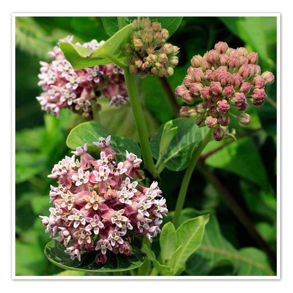 Asclepias syrica, Common Milkweed