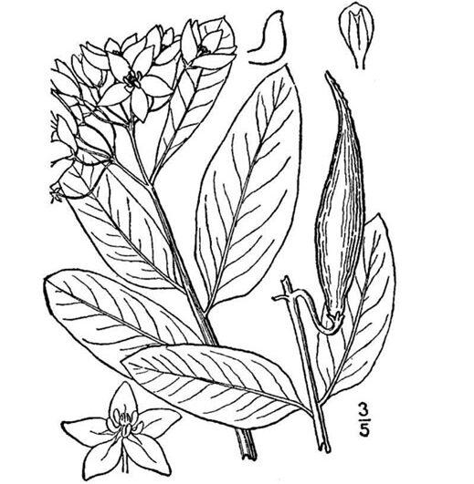 Asclepias-viridis-Green-Milkweed