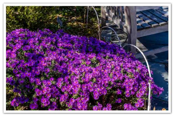 Aster-Purple-Dome-Abby-Lapides