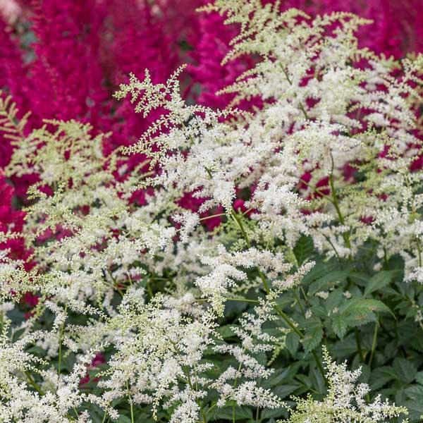 Astilbe-Bridal-Veil-flowers