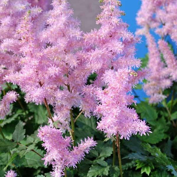 Astilbe Ice Cream False Spirea
