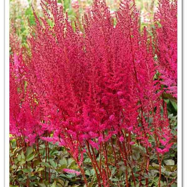 Astilbe Mighty Chocolate Cherry False Spirea