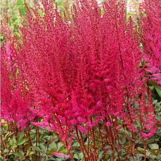 Astilbe-Mighty-Chocolate-Cherry