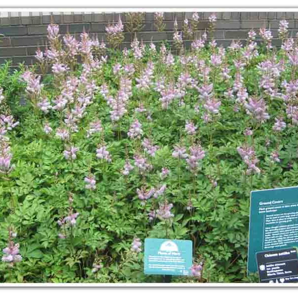 Astilbe Pumila False Spirea