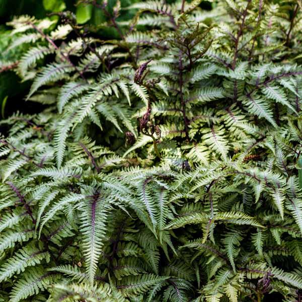 Athyrium niponicum Pictum Japanese Painted Fern