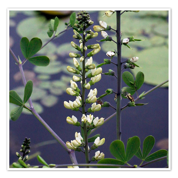 Baptisia-alba-False-Indigo