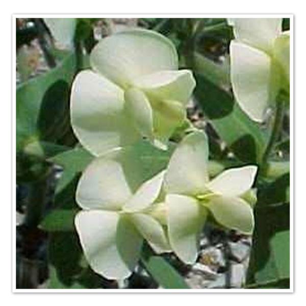 Baptisia-bracteata-Cream-Wild-Indigo-close-up