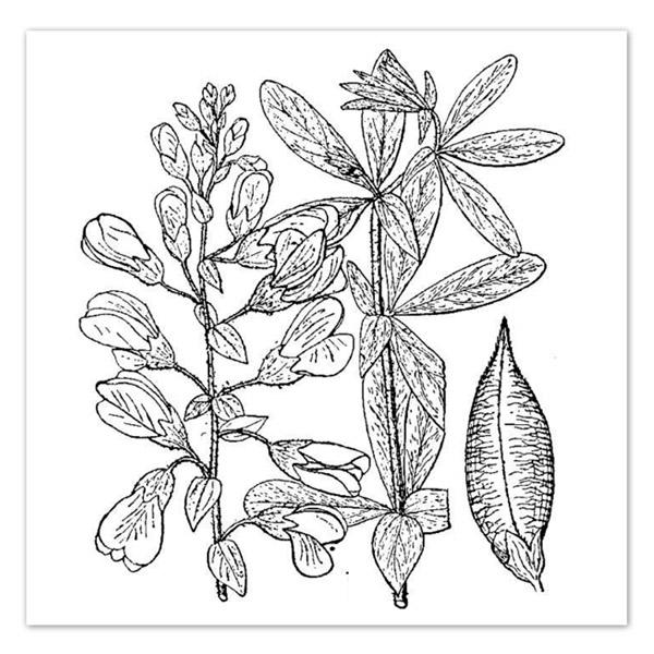 Baptisia bracteata Cream Wild Indigo
