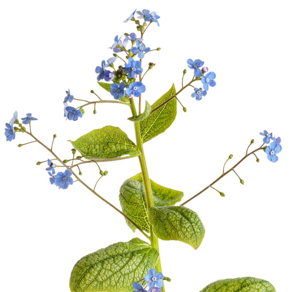 Brunnera Jack of Diamonds, Siberian Bugloss