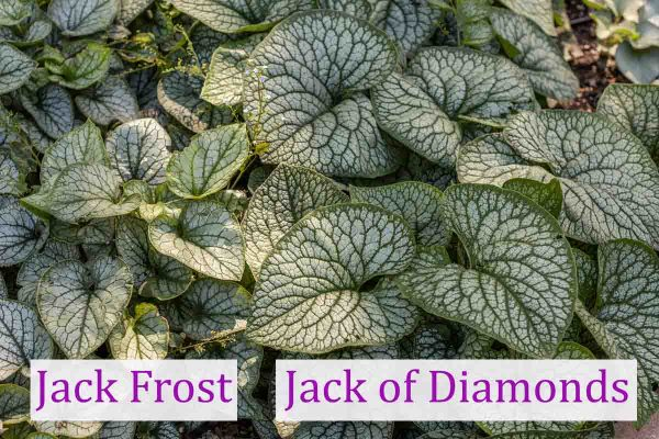 Jack-Frost-grown-next-to-each-other