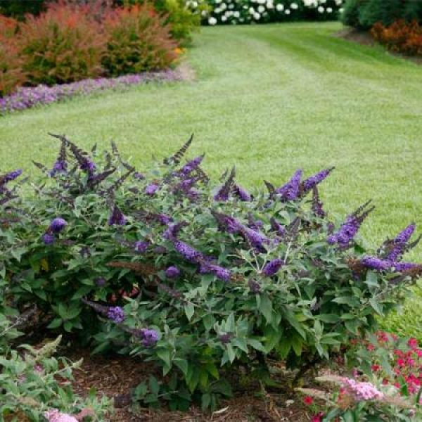 Buddleia Pugster Blue, Butterfly Bush