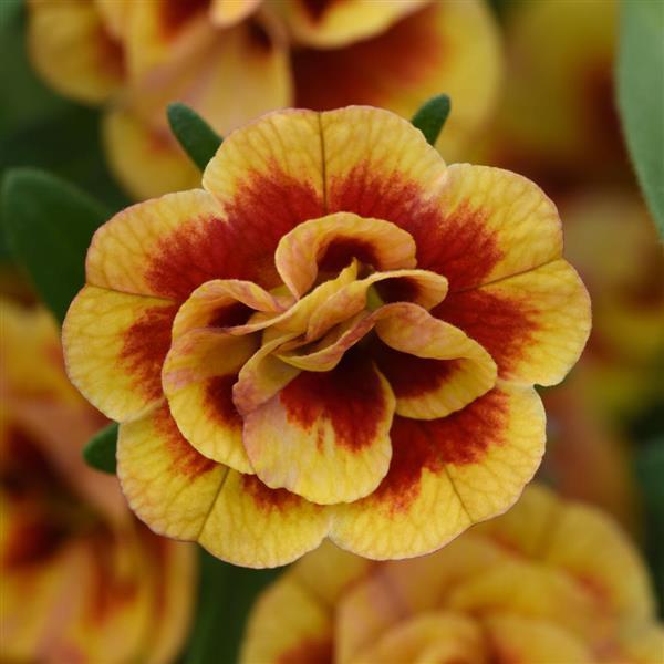 Calibrachoa Double OrangeTastic