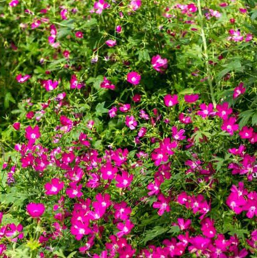Callirhoe-bushii-Bushs-Poppy-Mallow