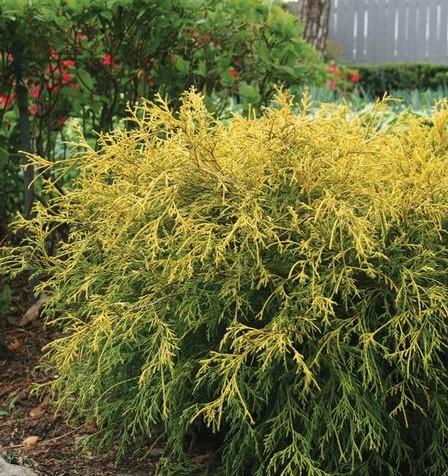 False Cypress King's Gold Chamaecyparis