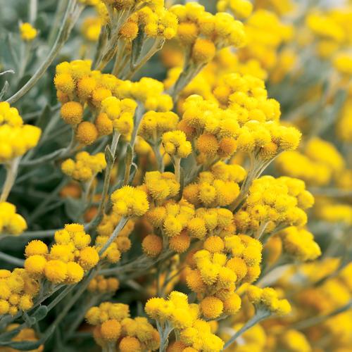 Chrysocephalum Flambe Yellow Strawflower