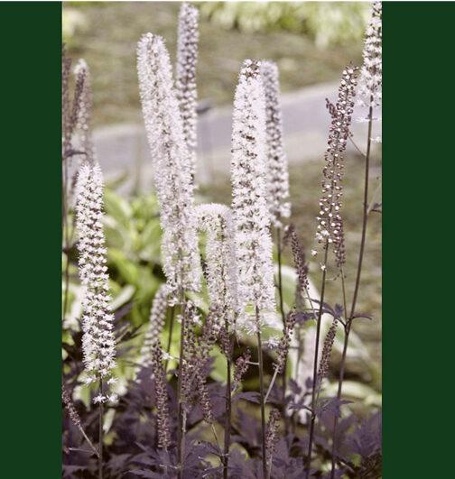 Spectacular plants, Hllside Black Beauty Bugbane, Cimicifuga, features striking dark purplish-black foliage that is one of the darkest to date.