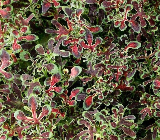 Coleus Red Coral