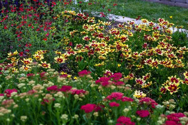 Coreopsis-Super-Star-Tickseed-garden-with-Salvia-and-Achillea