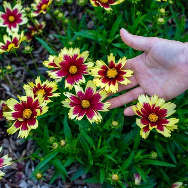 Sun Plants for St Louis Missouri