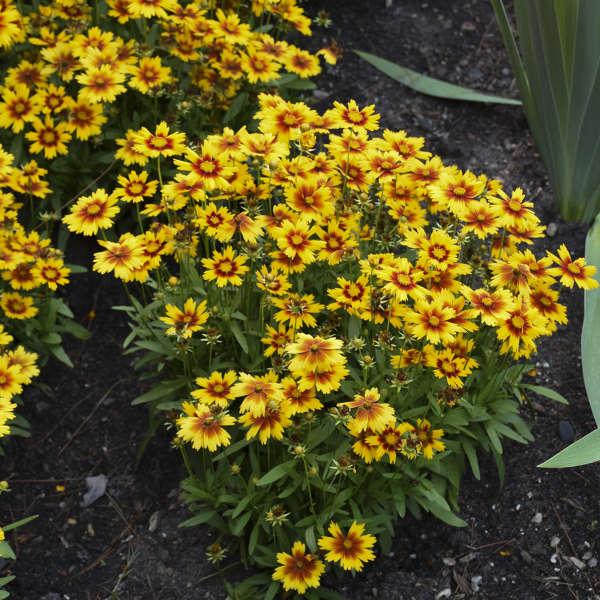 Coreopsis Uptick Gold Bronze flower