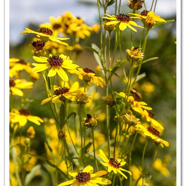 Coreopsis tripteris Star Tickseed