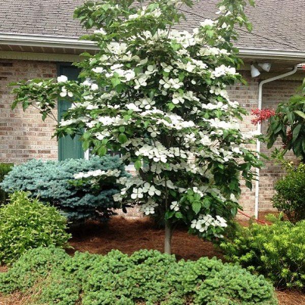 Cornus Venus Dogwood Tree