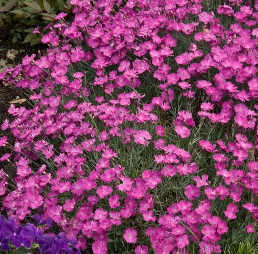 Dianthus-Fire-Witch-Pinks