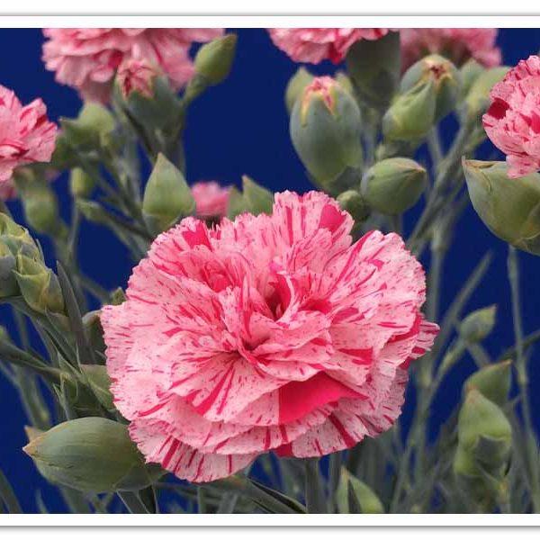 Dianthus Pinball Wizard, Carnation