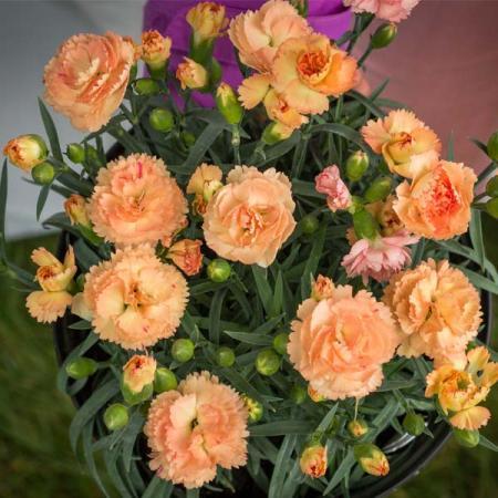 Dianthus-Super-Trouper-Orange-Carnation