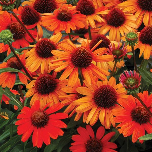 Echinacea-Kismet-Intense-Orange Coneflower flowers