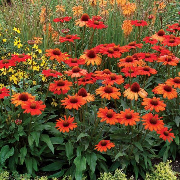 Echinacea-Kismet-Intense-Orange Coneflower garden