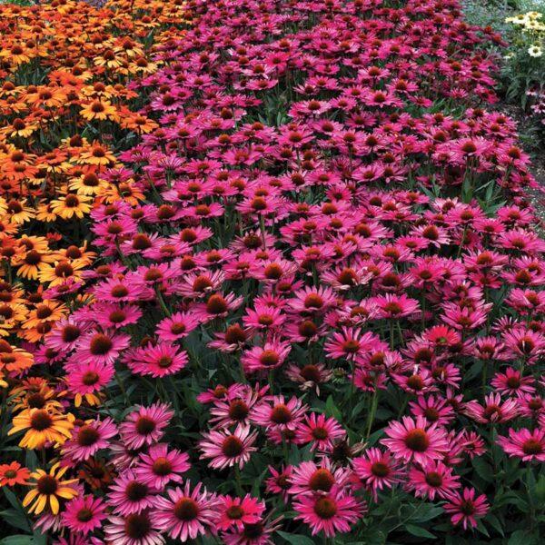 Echinacea-Kismet-Raspberry