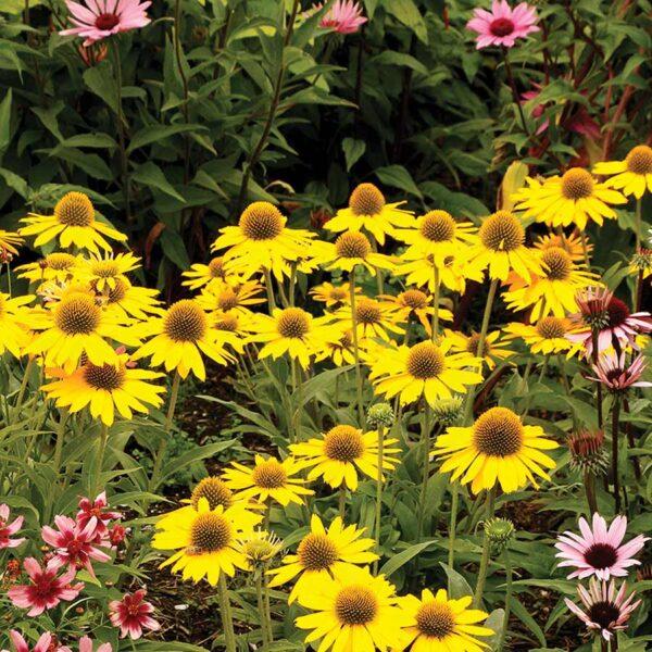 Echinacea-Kismet-Yellow