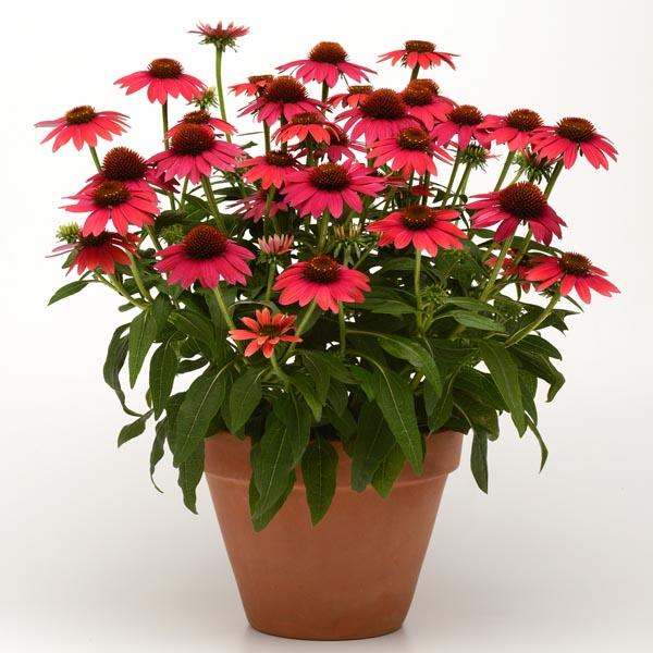 Echinacea Sombrero Baja Burgundy, Coneflower flower