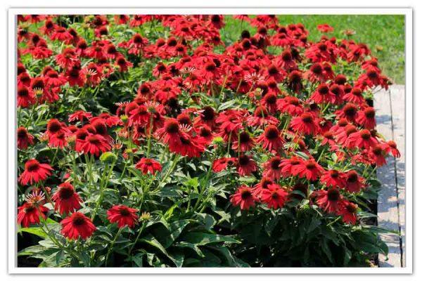 Echinacea Sombrero Salsa Red, Coneflower