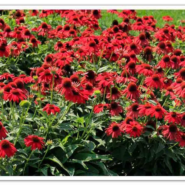 Echinacea Sombrero Salsa Red Coneflower