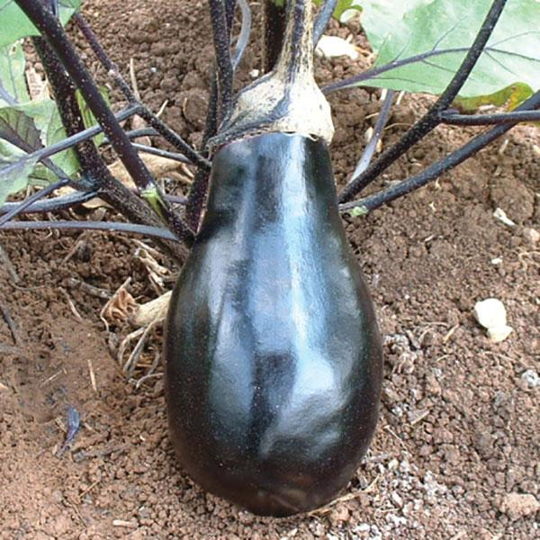 Eggplant Black Beauty - Organic