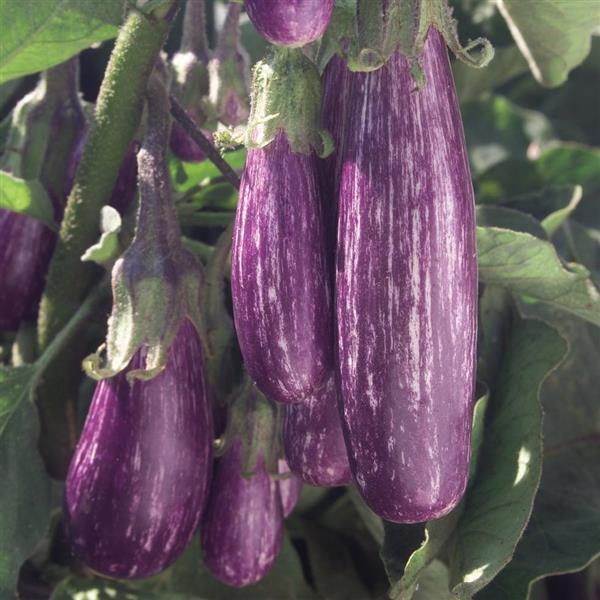 Eggplant Fairy Tale - Organic