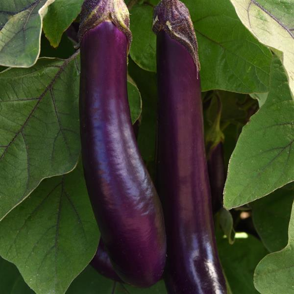 Eggplant Japanese Long - Organic