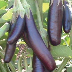 Eggplant Little Fingers