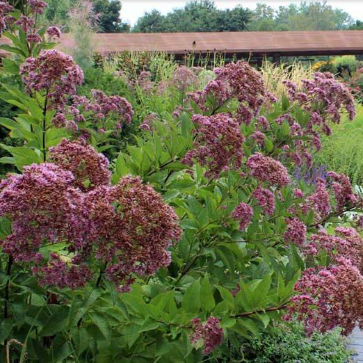 Euportium-purpureum-Joe-Pye-Weed