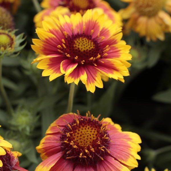 Gaillardia Mesa Bicolor, Blanket Flower