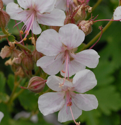 Geranium Bikovo, Hardy Geranium, closeup