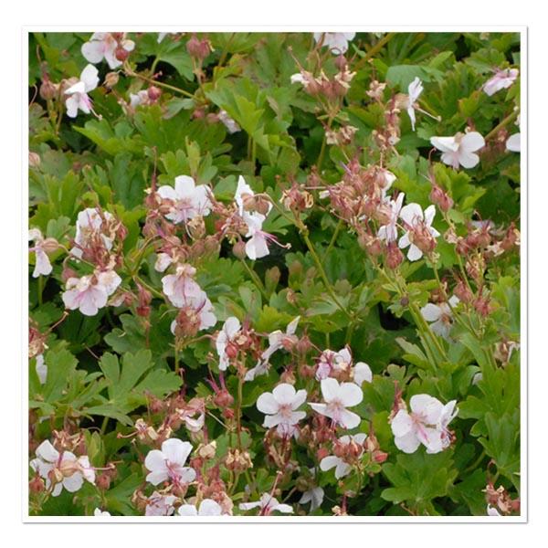 Geranium Biokovo Hardy Geranium