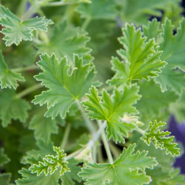 Geranium Citriodorum, Lemon Scented Geranium