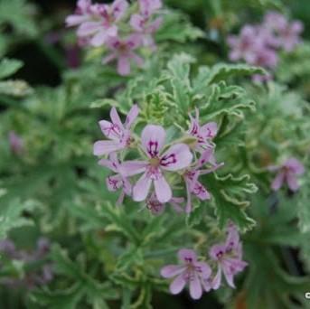 Geranium Lady Plymouth