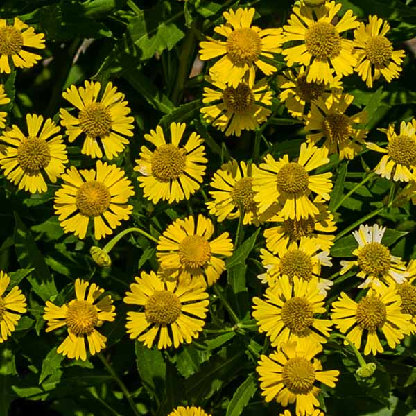 Helenium-autumnale-Sneezeweed